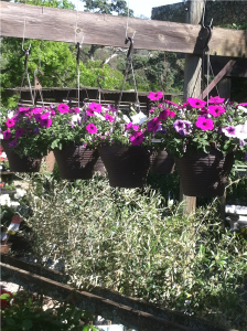 Hanging baskets  $19.50 each. Million Bells and Wave Petunia Hanging Baskets make a great Mother's Day gift.