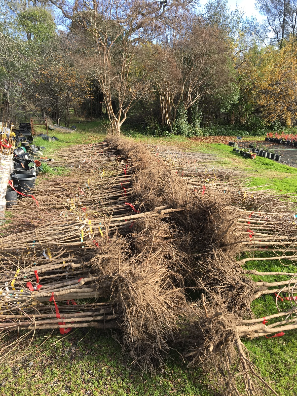 Bare Root Roses Ready For Fruit Trees Arrived Today Bald Mountain Nursery